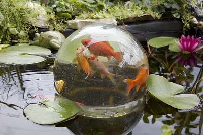Photo of fishbowl sitting in pond. Fishbowl has something like five fishes in it.